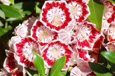 10 Shrubs That Thrive in the Shade: Mountain Laurels