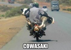 WOW. Cow on motorcycle. Wtf