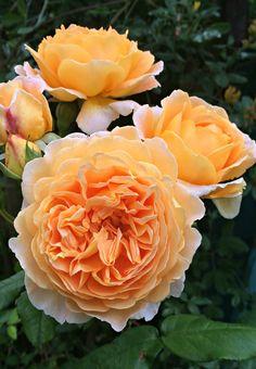 Orange roses 1st year in my garden (Wil 2120)