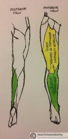 pin by slateable on femoral nerve block | pinterest, Muscles