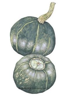 PLANTED: Squash Winter Burgess Buttercup Heirloom Seed - Botanical Interests