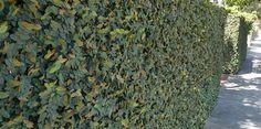 Ficus Pumila Creeping Fig - Photo © Bulleen Art & Garden