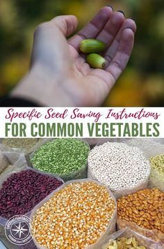 Specific Seed Saving Instructions for Common Vegetables — If you grow your own garden every year and always wondered how to save the seeds, this is your article. If you are a prepper, this article will show you how to collect and store the seeds from common vegetables.