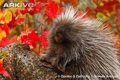 Juvenile North American porcupine amongst autumn leaves