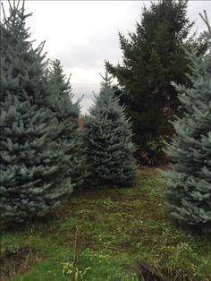 Голубая елка- супер елки на Новый год! www.wow-elki.ru