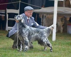 English Setter ~ Classic Look