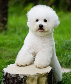 Bichon Frise; here's a secret - this is how a bichon should look, if you rather like the poodle look (short on the top, and longer ears)...get a poodle!