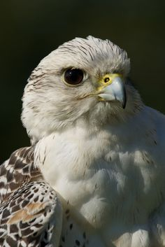 Birds of Prey - Close-up of white Gyrfalcon head and breast.