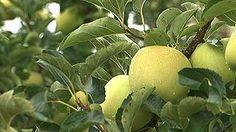 MERCADO-LIBRE.EU: Las manzanas de Nufri