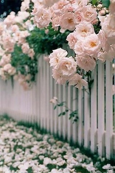 Pink roses in full bloom on a white picket fence. You can almost smell the fragrance! White Picket Fence, Picket Fences, White Fence, Picket Fence Garden, Fence Gates, Green Fence, Colorful Roses, Pink Flowers, Draw Flowers