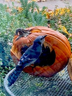 After Halloween I fill my pumpkins with birdseed and set them outside my mother's window Pumpkin Pictures, Pumpkins, Fill, Window, Halloween, Animals, Animales, Animaux, Windows