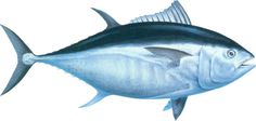 bluefin-tuna - Google Search