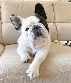 Giving medications to our pets is not usually a pleasant experience but this tip will change all of that for both you and your dog. Cute Bulldog Puppies, Cute Bulldogs, Cute Dogs, French Bulldogs, Animals And Pets, Baby Animals, Cute Animals, Dog Food Brands, Large Dog Breeds