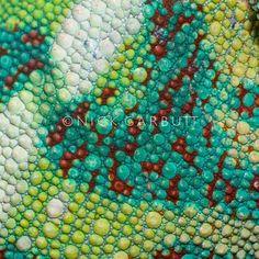 Skin Panther Chameleon (Furcifer pardalis)