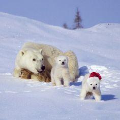 Christmas Polar Bear | Home / Christmas Polar Bears