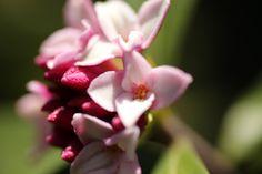 沈丁花-あまずっぱい香りとともに咲く