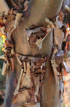 Find help & information on Acer griseum paperbark maple from the RHS Back Gardens, Small Gardens, Planting, Gardening, Old Forge, Sun Loving Plants, Sensory Garden, Autumn Display, Family Garden