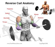 REVERSE CURL The Reverse Curl is a great bicep exercise that also if controlled, can strengthen and work the extensor muscles. If you are going to add reverse curls into your workout it should be one of the last exercises that you do for biceps. Most of