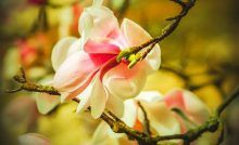 Covered Garden, Flowering Trees, Small Gardens, Primitive, Bloom Blossom, Magnolias, Flowers, Plants, February
