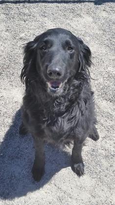 6 / 13 ***SENIOR*** Petango.com – Meet Abby, a 7 years Shepherd / Mix available for adoption in BOZEMAN, MT Address 1549 E Cameron Bridge Road, BOZEMAN, MT, 59718 Phone (406) 388-9399 Website http://www.heartofthevalleyshe lter.org Email adopt@heartofthevalleyshelter. org