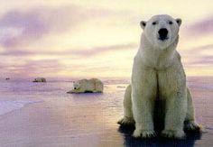 Výsledek obrázku pro lední medvěd