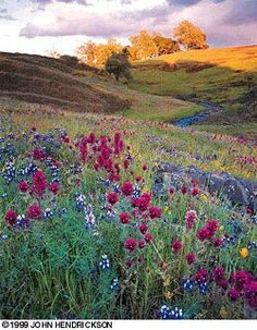 Table Mountain Wildflowers near Oroville, CA.