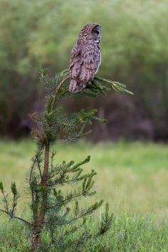 90377: Great Gray Owl (male) by Ken Shults