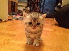 Chatons Foldex à vendre   Laurentides - #chatons #cute