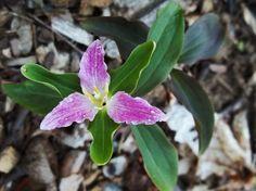 The itsy bitsy dwarf Trillium -Trillium pusillum