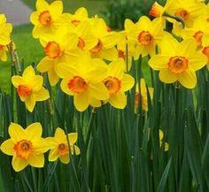 Benih Bibit Bunga Daffodil / Bunga Bakung Kuning