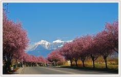 Cherry Blossom Time - Chilliwack, British Columbia