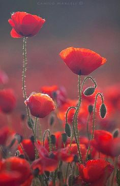 Red Spring, Poppies by Margeli