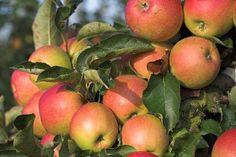 Dwarf McIntosh Apple Tree