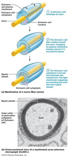 Satellite cells - PNS, surround neuron cell bodies, help regulate chemical environment Schwann cells – PNS, produce myelin sheaths in PNS
