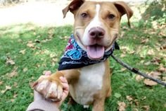 "♥ SAFE ♥ DON'T OVERLOOK ADORABLE NINO – RETURNED TWICE FOR PERS. PROB. & NEW BABY – NINO (A1121805) is 3 years old neutered pit bull ter mix. ""Five stars from day one! Nino is one happy camper leash free in the yard where he plays beautifully with tennis balls. Nino is a superb dog, friendly, super playful and enthusiastic."" Please, come to the Manhattan Care Center and GIVE THIS LITTLE DARLING SAFE FOREVER HOME. ♥ http://nycdogs.urgentpodr.org/nino-a1121805/"