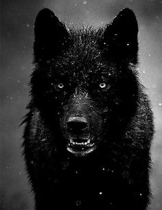 Imagine having a pet wolf who was not only your pet but a friend too. A trusted one to watch your back. A wolf called Midnight, dark watcher of the day, bright warrior of the night. Beautiful Creatures, Animals Beautiful, Majestic Animals, Animals And Pets, Cute Animals, Wild Animals, Angry Animals, Baby Animals, Fierce Animals