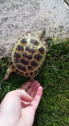 Welcome to Horsefield Tortoise Care Cute Tortoise, Baby Tortoise, Tortoise Habitat, Russian Tortoise Care, Kawaii Turtle, Cute Turtles, Young Animal, Hens And Chicks, Tortoises