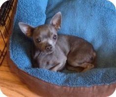 ♥5/21/15 PLEASE SAVE ME♥♥♥2/11/14-Mesa, AZ - Chihuahua. Meet Armani a Dog for Adoption.