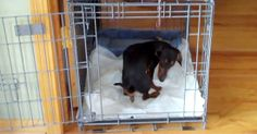 """Share this Pin with anyone needing to potty train a puppy! Lil Bit from Illinois – Miniature Dachshund. PTPA Review: """"He was completely potty trained after one week"""" Gary and Peggy – Illinois. Click here for more testimonials and to watch our world-famous video: http://ModernPuppies.com/"""