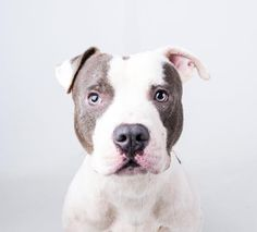 Cargo is an adoptable Pit Bull Terrier searching for a forever family near Decatur, GA. Use Petfinder to find adoptable pets in your area.