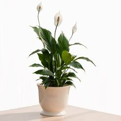 The peace lily is among the easiest plants to grow indoors. It can tolerate a wide range of lighting conditions, and needs only moderate watering. With graceful curving leaves and white flower that rise up from the dark foliage, peace lily looks exotic and elegant.