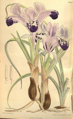 n161_w1150  Curtiss botanical magazine.. London ;New York [etc.] :Academic Press [etc.].
