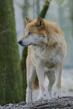 Golden wolf, rare colors to be seen on a wolf.