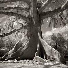 A fotógrafa americana Beth Moon passou 14 anos documentando algumas das árvores mais antigas do mundo.   Foto: Beth Moon