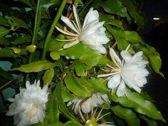 Epiphyllum oxypetalum ( DC. ) Haworth /  Reina de la noche