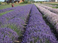 Winemaker's Journal — Lavender Wind Farm
