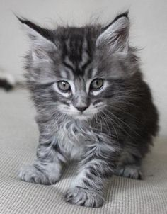 Black SIlver Tabby Maine Coon, 6 weeks (WhatATrill Maine Coons)