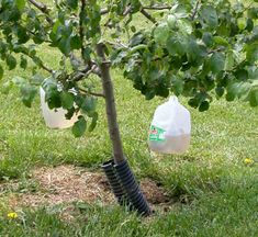 Toxin-free Insect Traps: 1 cup of sugar,  1 cup of apple cider vinegar, 1 banana peel. Put peel in milk jug, then add sugar and vinegar. Fill 2/3 full of hot water, swish to dissolve sugar.