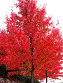 Autumn Blaze Red Maple.  Getting one of these for the back yard to replace the tree that the tornado took last year.