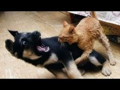 nice Best Funny Videos – Dogs scared of cats – Funny animal compilation Best Funny Videos, Funny Animal Videos, Funny Animals, Cute Animals, Dog Fort, Dog Thoughts, Funny Cats And Dogs, Lol, Funny Cat Memes